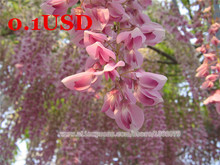 Loss Promotion!Very Rare Magic Pink Wisteria Flower Seeds,Semillas de flores Seed,Perennial Potted Plants For Home & Garden