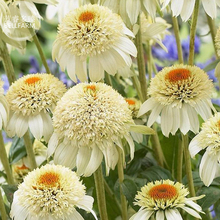 BELLFARM Echinacea Milky White Perennial Flower Seeds, 200 seeds, professional pack, big blooms with yellow centre coneflower