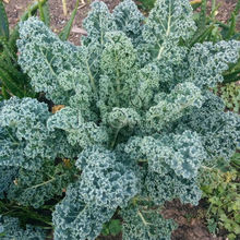 Dwarf Blue Curled Scotch Kale Seed * 1 Gram  ( 280 Seeds ) * Brassica oleracea * Borecole * Vegetable Garden Seed *