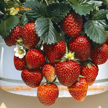 Rare Organic 'Rome' Strawberry Seed, 100 Seeds/Pack, Very Tasty RED BERRIES, Fruit Seed For Balcony Bonsai Plant-Land Miracle(China)