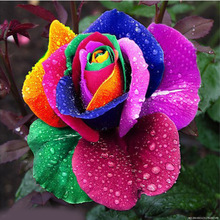 New Beautiful Romantic 500Pcs Rainbow Rose Seeds Multi Colored Perennial Fragrant Flower Home Decoration