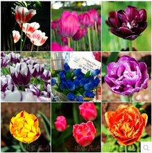 Tulip, tulip seeds, potted indoor and outdoor potted plants purify the air mixing colors,tulip flower - 100pcs / bag