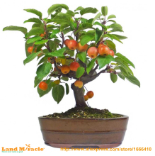 20 Seeds / Pack, Dwarf bonsai apple tree Pick Delicious Fruits In Your Backyard Easy -growing Bonsai FruitFree Shipping(China)