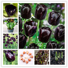 5pcs Bulbs True Black Tulip Bulbs (Not Tulip Seeds),Tulips Variety Fresh Bulbous Root Flowers Planted flower bulbs good quality