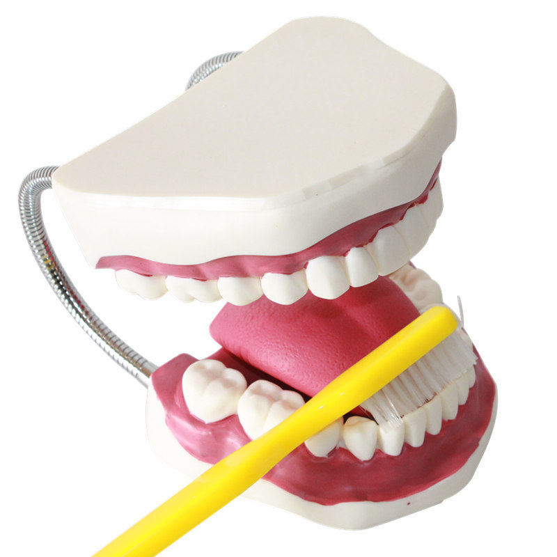 HeyModel 3 times Enlargement of  Dental Care Teaching Demo Model<br>