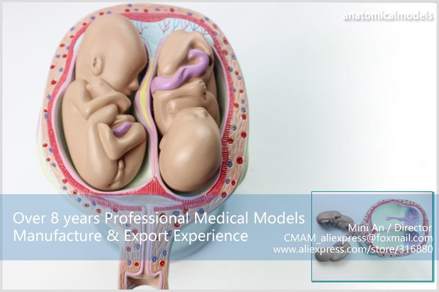 CMAM-ANATOMY12 Embryonic development model 2