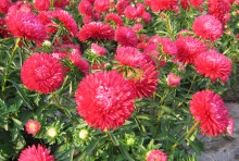 Floral Seeds Red Chrysanthemum Seed Flower Large Dividing Color Patterns Red Head Inflorescence Hi light 50pcs / bag