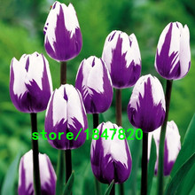 Hot Sale Rare Bonsai Purple White Edge Tulip Seeds Tulip Flower Seeds Perennial Home Garden Potted Plants 100 Particles / lot