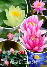 Garden 5seed / pack, Dark Blue Nymphaea Caerulea China Water Lily Pad Flower Pond Seeds for Christmas
