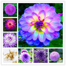 Hot Sale 2 Bulb Purple Dahlia Bulbs Beautiful Perennial Dahlia Flower Bulbs Bonsai Plant DIY Home Garden