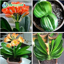 Clivia seeds,cheap Clivia potted seed,Bonsai balcony flower for home&garden free shipping 100 piece/pack