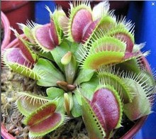 100PCS Dionaea Seeds Derlook flowers bonsai Potted Plant dionaea saplings seeds flower seeds Muscipula Giant Clip Venus Flytrap