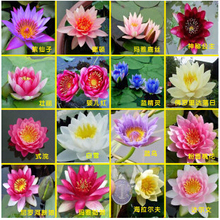 Hydroponic flowers small water lily seeds mini lotus seeds bonsai seeds set hydrophyte - 10 pcs/pack seeds