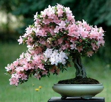 japanese flower seeds 25pcs/lot  Cherry Blossoms tree Seeds Sakura Seeds,Colour cherry Free Shipping