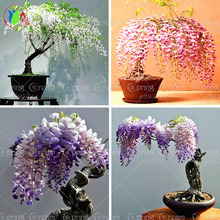 Flower pots planters 10pcs/bag wisteria flower seeds,wisteria flower, wisteria tree bonsai computer desk plant decoration(China)