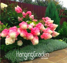 New Arrival! 100 Pcs/Pack Vanilla Strawberry Hydrangea Flower Seeds for Planting Flower Bonsai or tree Seeds Home Garden