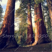 30 Giant Sequoia Seeds dawn redwood largest fresh natural park tree High quality 100% real seeds(China)