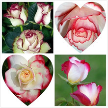 20 seeds Swept Away Rose Seeds --Fire & Ice Rose ,Beautiful DIY Home Garden Flower(China)