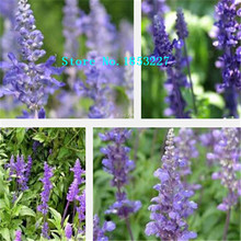 GGG Original Pack 100 Seeds / Pack, Blue flower sage, green courtyard balcony aromatic plants potted bonsai flower seeds(China)