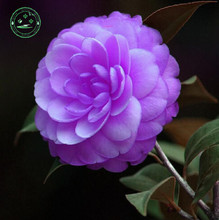 10PC world's rare Purple camellia seeds. Natural growth colorful plants. Bonsai camellia g23
