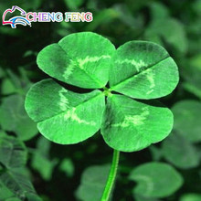 New Arrival Home Garden Plant 200 Seeds Trifolium Repens White Dutch Clover Seeds Four Leaf Clover Seeds free shipping