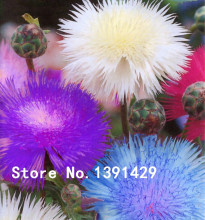 Germany national flower Seeds Blue Cornflowers 100 pcs Chrysanthemum seeds mini bonsai for home garden planting + ROSE GIFT(China)