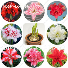 Buy 2 Pcs Real amaryllis bulbs, hippeastrum bulbs, bonsai flower bulbs, perennial Barbados Lily for $1.52 in AliExpress store