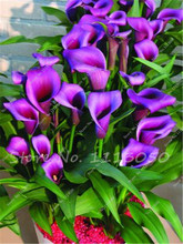 Rose Purple Calla Lily Seeds Potted Balcony Calla Lily Radiation Absorption Semenatsvety Garden Perennial Flower Seeds-50 Pcs