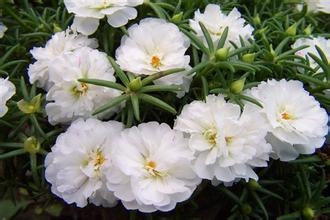 250 Seeds /bag Potted flower seed Portulaca grandiflora,White sun plant seeds,White pine needles peony(China)