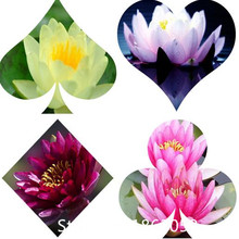 Garden 5 seed / pack, Nymphaea Eldorado Asian Orange Water Lily Pad Flower Pond Seeds for Christmas