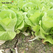 HUA XIAN ZI 30 Seeds/Bag Chinese Delicious Cabbage Seeds Easy to Grow Nutritious Green Vegetable Seeds DIY Home Garden