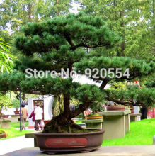 Hot selling 10pcs/lot Korean Pine,Pinus koraiensis seed evergreen plant bonsai plant DIY home garden free shipping(China)