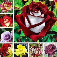 home & garden 1 Professional Pack, 100 seeds / pack, Red Black Rare Rose Plant Seedling Garden Seed(China)
