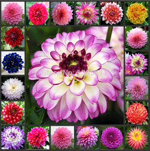 dahlia,mixed colors dahlia flower,dahlia seeds - 30 pcs Flowers seeds  free shipping