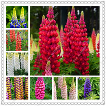 200 seeds/pack lupine seeds annual succulent groundcover flower seeds,potted plants seeds for home garden(China)