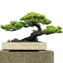 Japanese black pine seed bonsai garden interior decoration, evergreen, ornamental strong perennial garden seeds