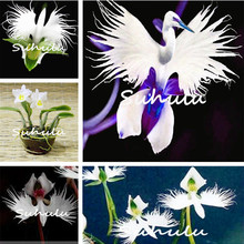 30pcs Japanese Tiger Orchid Seeds White and black Radiata Egret Orchid Seeds World's Rare Species Flower for home garden decor
