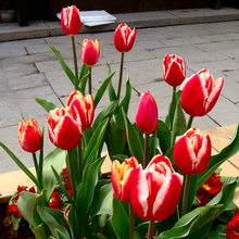Marseed Rare Flower Plants Bulb Tulip Plants Tulipa Gesneriana Plant Pot Rare Flower Sementes Home Gardening Plantings MSED063