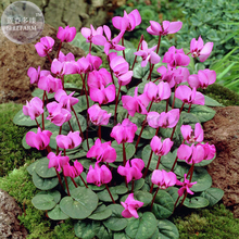 'Xianv' Pink Cyclamen Seeds, 5 seeds, professional pack, a must for garden diy plant E4122
