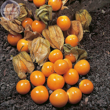 Cape Gooseberry (Physalis Peruviana) Seeds, different varietes seeds, professional pack, orange yellow red organic fruits E4133