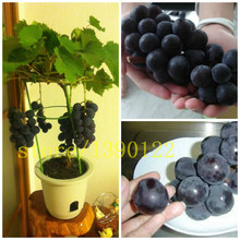 50/bag grape seeds bonsai fruit black grape seeds Dwarf grapes tree easy grow Japanese Dwarf fruit for home garden planting(China)