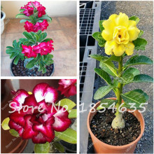 Hot 100% true Desert Rose Seeds Ornamental Plants Balcony Bonsai Potted Flowers Seeds Adenium Obesum Seed -5 Pcs Free Shipping(China)