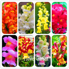 Promotion! 100 Pcs/Pack The Death Rose seeds rare and mysterious plant species of snapdragon flower seed(China)