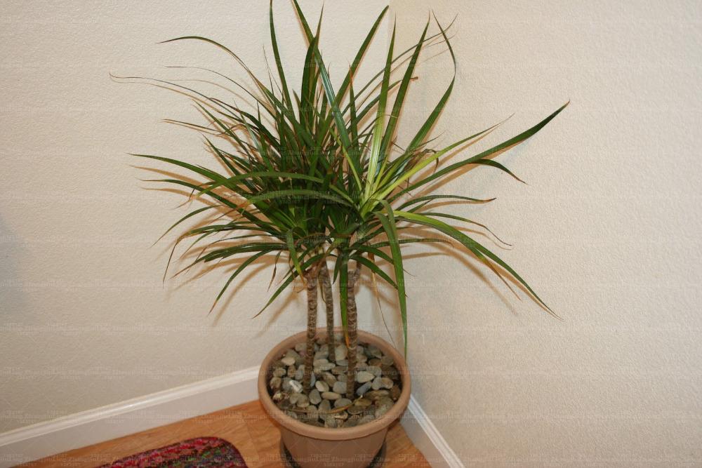 The-Dragon-Tree-houseplants