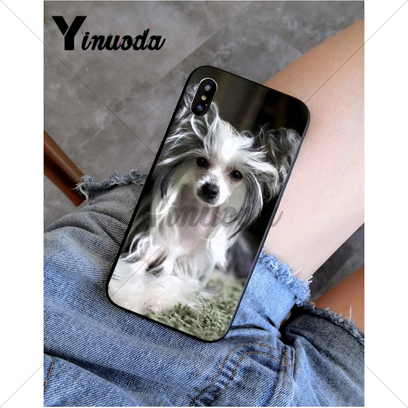 Dog of breed Chinese crested
