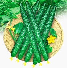 100seeds/bag cucumber seeds,Organic Heirloom vegetable fruit seeds,planting cucumber seeds,green and heath for home garden plant(China)
