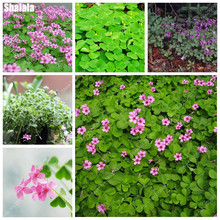 150pcs/pack Evergreen Oxalis Grass Leaf Bonsai Seeds Shamrock Potted Plant Outdoor Perennial Garden Grass Plant DIY Home Garden(China)