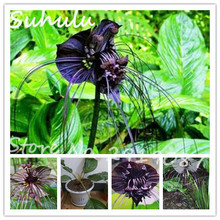 50seeds/bag Popula black tiger flower seeds rare orchid beautiful flower seeds free shipping gardens and factories easy grow(China)