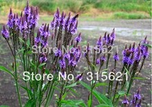 Verbena hastata/ Blue vervain flower Seeds,flavour faint scent ,Can be tea and a calm sedative effect and losing weight