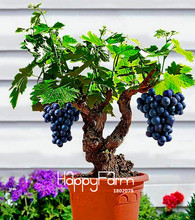 Big Sale!Miniature Grape Vine Seeds, PATIO SYRAH, Vitis Vinifera, Houseplant, 50 Seeds, Fruit bonsai seeds,#1UM2LB
